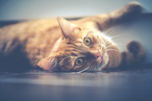 Chat roux allongé par terre